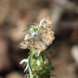 Arizona Powdered-Skipper - Systasea zampa