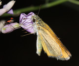 Edwards's Skipperling - Oarisma edwardsii