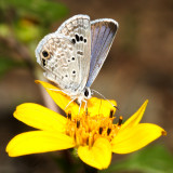 S E Arizona Butterflies