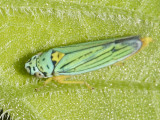 Blue-green Sharpshooter - Graphocephala atropunctata