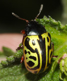 Calligrapha serpentina