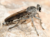 Three-banded Robber Fly - Stichopogon trifasciatus