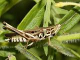 Admirable Grasshopper - Syrbula admirabilis