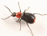 Malachiinae - Attalus sp.