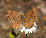 Arizona Metalmark - Calephelis arizonensis