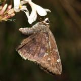 Acacia Skipper - Cogia hippalus