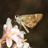 Texas Roadsied-Skipper - Amblyscirtes texanae