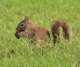 Arizona Gray Squirrel - Sciurus arizonensis