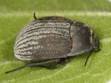 Eusattus reticulatus