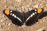 Arizona Sister - Adelpha eulalia