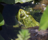 Ramsey Canyon Leopard Frog - Rana subaquavocalis