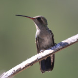 Broad-billed Hummingbird - Cynanthus latirostris (female)