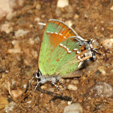 Siva Juniper Hairstreak - Callophrys gryneus siva