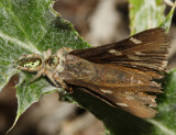 Paraphidippus aurantius (female eating a Moon-marked Skipper)