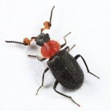 Collops sp. (male)