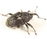 Geraeus patagoniensis
