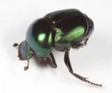 Tumblebug - Canthon indigaceus
