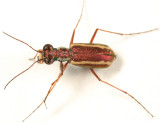 White-striped Tiger Beetle - Cylindera lemniscata