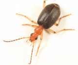 Brachinus lateralis
