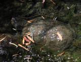 Sonora Mud Turtle - Kinosternon sonoriense