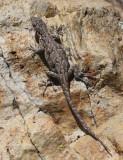 Ornate Tree Lizard - Urosaurus ornatus