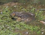 American Bullfrog - Rana catesbeiana (covered in mud)