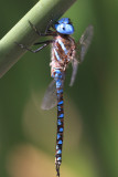 Blue-eyed Darner - Rhionaeschna multicolor (male)