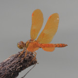 Mexican Amberwing - Perithemis intensa (male)