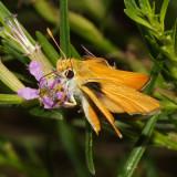 Orange Skipperling - Copaeodes aurantiaca