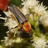 Chauliognathus obscurus