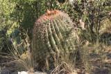 Arizona Barrel Cactus - Ferocactus wislizenii