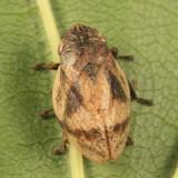 Lepyronia coleoptrata