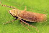 Laevicephalus sp.