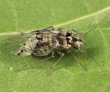 Hyalopsocus (undescribed species)