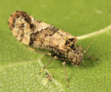 Myopsocidae - Lichenomima sp.