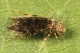 Scaly-winged Barklice - Lepidopsocidae