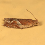 3374 - Strawberry Leafroller - Ancylis comptana