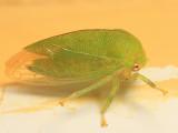 Atymna querci (female)