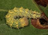 Acronicta sp. (increta or ovata)