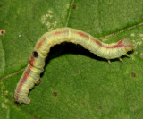 6668 - Gray Spring Moth - Lomographa glomeraria?