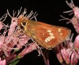 Leonard's Skipper - Hesperia leonardus leonardus