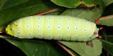 7764 - Promethea caterpillar - Callosamia promethea