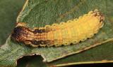 7659 - Scalloped Sack-bearer - Lacosoma chiridota