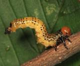 Elm Argid Sawfly - Arge scapularis