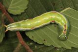 7998 - Variable Oakleaf Caterpillar - Lochmaeus manteo