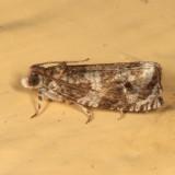 2821 - Olethreutes appendiceum