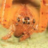 Araneus corticarius