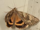 8802 - Yellow-banded Underwing - Catocala cerogama