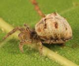 Hyptiotes cavatus (female)