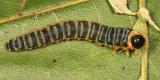 Macremphytus tarsatus